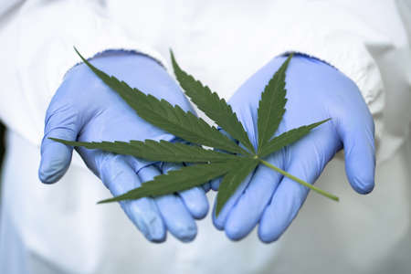 Woman doctor holding a cannabis leaf .alternative medicine, Medical marijuana.