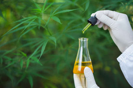 Researcher holding a dropper with hemp oil product. CBD cannabis oil. medical marijuana concept. 免版税图像