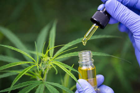 Drops of Hemp oill, CBD cannabis oil in pipette,    medical marijuana  concept.