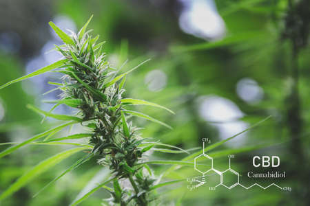 CBD  elements in Cannabis, Growing Marijuana, medical marijuana,  cannabinoids and health. Banco de Imagens