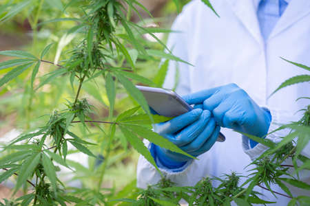 Scientist in a hemp field checking plants and flowers, alternative herbal medicine, Cannabis research concepts. 版權商用圖片