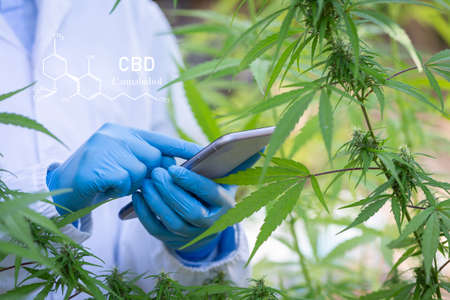 cannabinoids in marijuana CBD elements, researching hemp oil extracts for medical purposes. 版權商用圖片