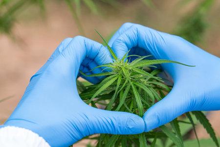 Woman's hand holding a young growing cannabis marijuana leaf inside a green house. Marijuana care concept Imagens