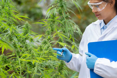 Portrait of scientist  checking and analizing hemp plants, The doctor is researching marijuana.  Concept of herbal alternative medicine, cbd hemp oil, pharmaceutical industry