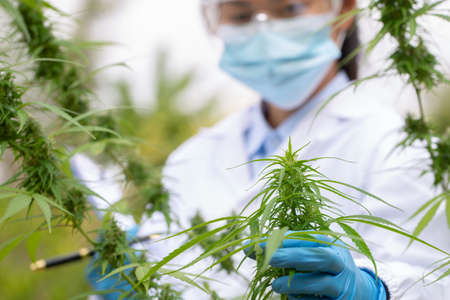 Researchers are studying the extraction of hemp oil. CBD cannabis oil. medical marijuana concept.