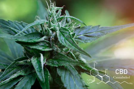 CBD formula. Growing Marijuana,  cannabinoids and health, medical marijuana, CBD and THC elements in Cannabis.