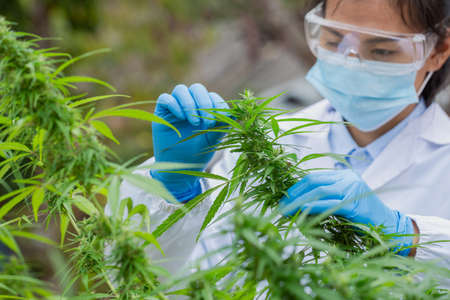 Scientist in a hemp field checking plants and flowers, alternative herbal medicine, Cannabis research concepts. Banque d'images
