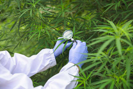 Portrait of scientist  analizing hemp plants in a greenhouse. Concept of herbal alternative medicine,cbd oil, pharmaceutical industry Stock Photo