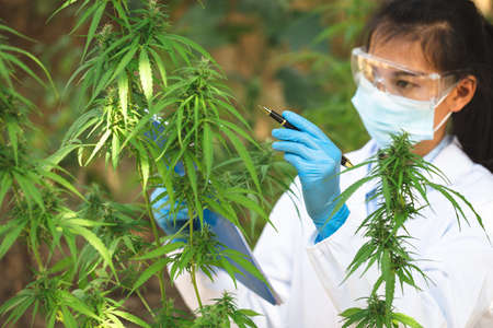 Marijuana research,  scientist checking and analizing hemp plants, signing the results with laptop in a greenhouse. Concept of herbal alternative medicine, cbd hemp oil, pharmaceutical industry