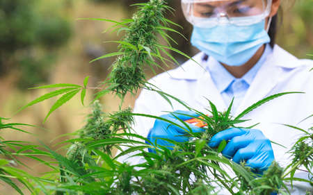 Marijuana Researcher, Female scientist in a hemp field checking plants and flowers, alternative herbal medicine concept.
