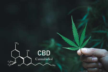 Hand holding marijuana leaf  with image of the formula CBD. Banque d'images