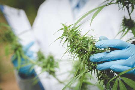 Portrait of scientist  analizing hemp plants in a greenhouse. Concept of herbal alternative medicine,cbd oil, pharmaceutical industry Фото со стока