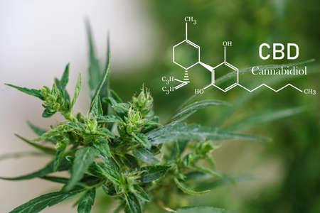 CBD  elements in Cannabis, Growing Marijuana, medical marijuana,  cannabinoids and health. Фото со стока