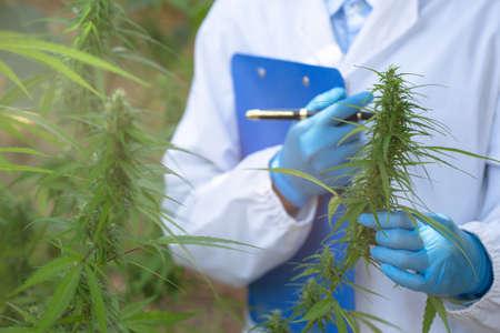 Female scientists researching hemp oil. cannabis oil cbd. Concept of herbal alternative medicine, pharmaceptical industry.