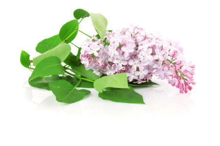 Lilac branch purple, flowers with green leaves on white background photo