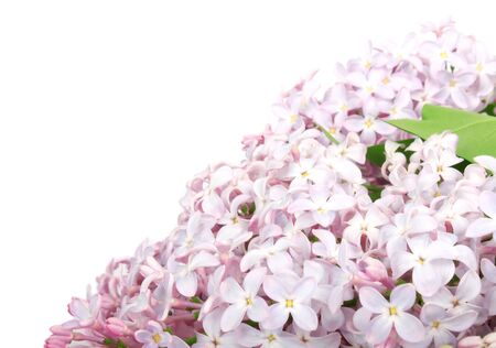 syringa: Lilac branch purple, flowers with green leaves on white background