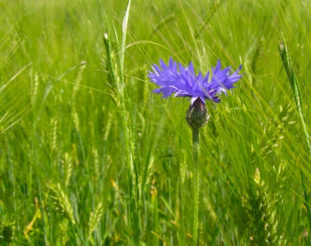 Blue cornflower on green field of wheat, nature photo photo