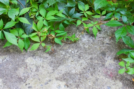 Climbing plant with large green leaves on cement wall, photo background photo