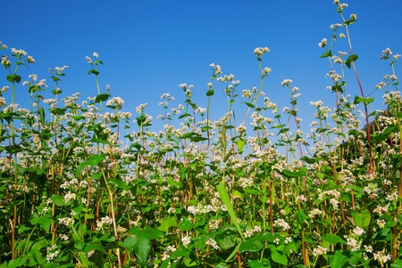Green soba or buckwheat blooming field, nature photo  photo