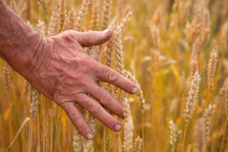 Wheat ears and hand, harvest concept, agriculture nature photo photo