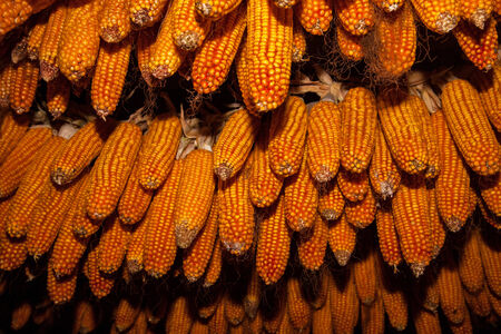 Dry ear of corn hanging over leaves, food photo photo