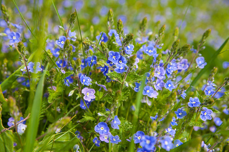 blue green background: Blossom blue flower on green grass, spring background