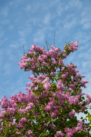 lilacs: Lilacs bush with green leaves, spring flowers