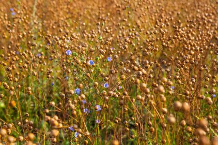gold flax: Field of gold blue flax, agricultural landscape photo.