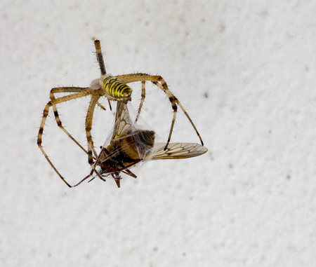 big yellow and black spider hunting a bug Stock Photo