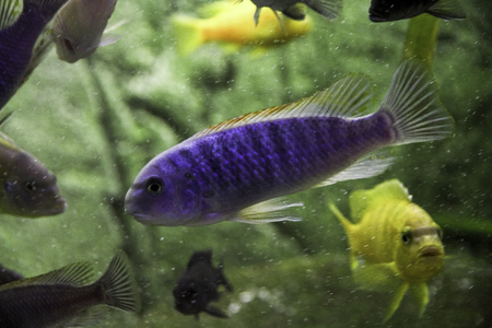 african cichlids fishes in a domestic aquarium Stock Photo
