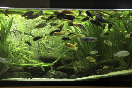 astronotus: african cichlids fishes in a domestic aquarium Stock Photo