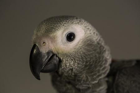 gray parrot portrait