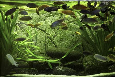 cichlids: african cichlids in aquarium