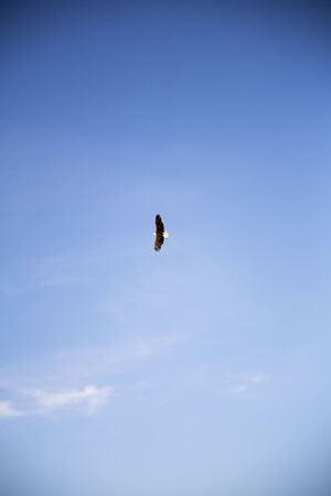 white-headed sea eagle flying in blue sky Фото со стока