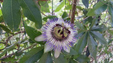 purple passionflower Passiflora incarnata in sunny garden