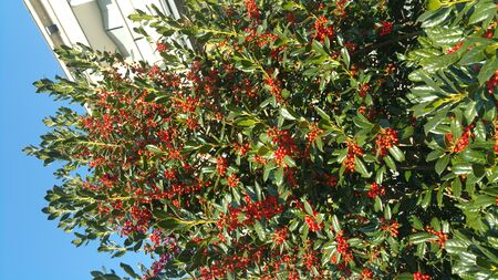 Ilex opaca American holly with red friut