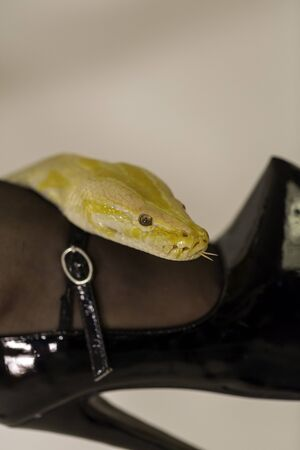 beautiful specimen of white and yellow albino moluro python with sexy patent leather black high heel women shoes