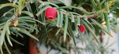 Close-up of red Taxus Baccata berries. High quality photo