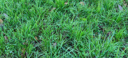 Close-up of a green grass lawn. High quality photo