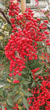 Close up view of an Heavenly Bamboo Nandina plant with bunches of vivid red berries. High quality photo