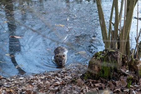 nutria coypu beaver in pond in Modena, Italy. High quality photo