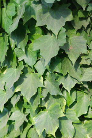 see ivy leaves grown on the wall. High quality photo