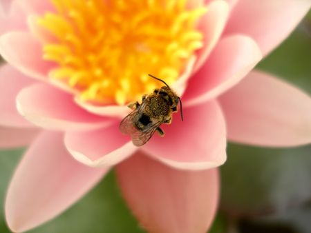 A bee on a pinky lotus flower in a pond photo
