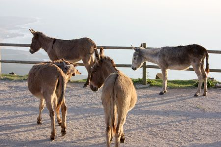 jack ass: Several brown donkeys standing inside a fence