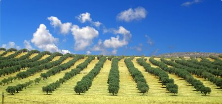 olive farm: Green rows of olive trees in Spain   Stock Photo