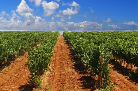 Green rows of a vineyard in Spain