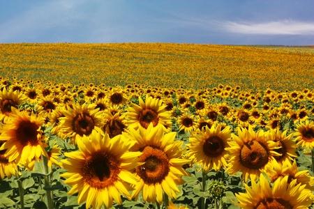 a sunflower: Sunflower field