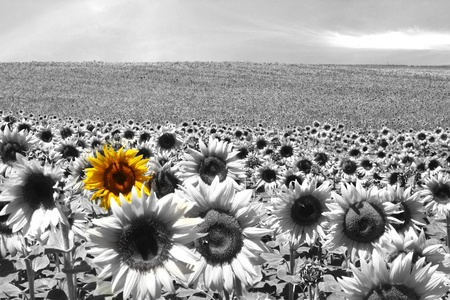 differentiate: Sunflower field all black & white except a single flower Stock Photo