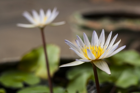 brooming: Water lily in the pot beautiful lotus