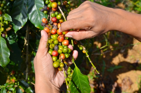 branch tree: Hands picking arabica coffee berries in red and green on its branch tree at plantation Stock Photo